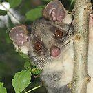 Ring Tailed Possum by Jenny Brice