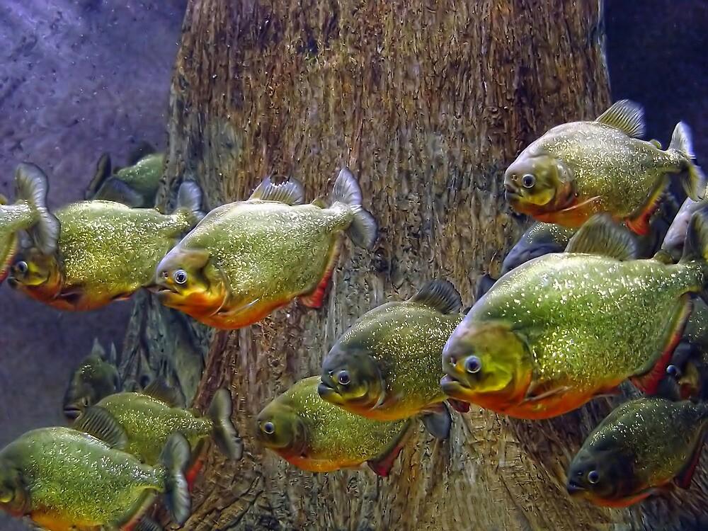 Piranha by Carolyn  Fletcher