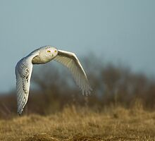 Snowy Owl by Wayne Wood