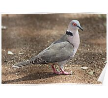 African Mourning Dove Poster