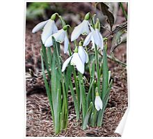 Group Of Small Snowdrops Poster