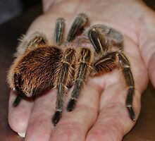 The Chilean Rose Tarantula by AnnDixon