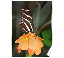 Zebra Longwing on Flower - Heliconius charithonia Poster