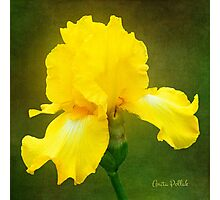 Painted Yellow Iris Photographic Print
