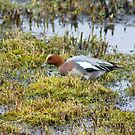 Eurasian Wigeon by Jamie  Green
