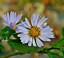 Purple Daisy by Ronda Basteyns