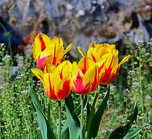 Yellow and Red Tulips by James Brotherton