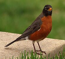Robin on the stairs by Bine
