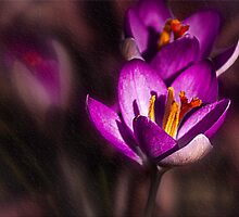 Winter Crocus by LudaNayvelt