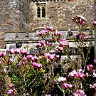 Pink Magnolia at Powderham Castle by Charmiene Maxwell-batten