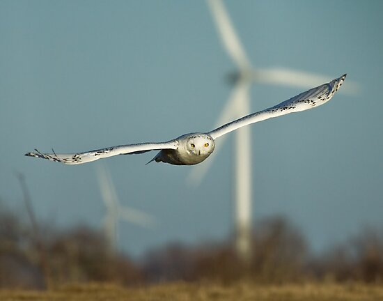 Snowy Owl straight down the pipe by Wayne Wood