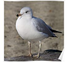 Sea Gull on English Beach, Vancouver, Canada  Poster