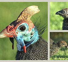 Helmeted Guineafowl by Warren. A. Williams