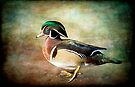 Handsome Fella - Wood Duck by KBritt