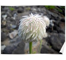 Seed Head of Anemone occidentalis (Western pasqueflower) Poster