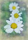 french daisies by Teresa Pople