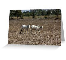 Roaming Cattle Greeting Card