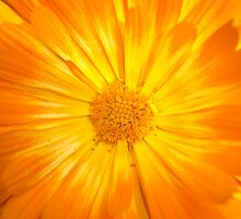 Calendula Burst by Paul-M-W