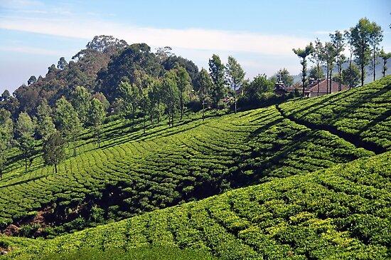 Tea Garden by AravindTeki