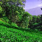 Tea Garden by AravindTeki