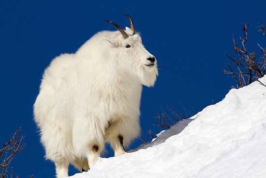 Mountain Goat On Blue by A.M. Ruttle