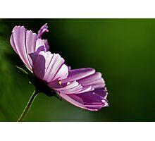 Purple against the light Photographic Print