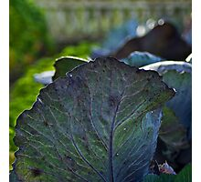 Red cabbage Photographic Print