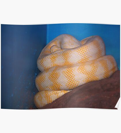 Albino Python Poster