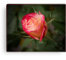 Red and White Rose 2 Canvas Print