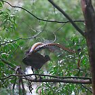 Lyre Bird, Jamberoo Pass. N.S.W. by Damandi