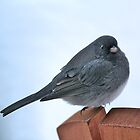 Little Black Eyed Junco! by Rose Landry