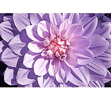 Pink and Lavender Dahlia Close Up Photographic Print