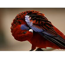 Feathers care for beauty!...Crimson Rosella Photographic Print
