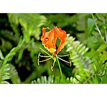 Tropical Gardens - Flame Lily Photographic Print