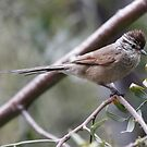 plain mantled tit spintail by Dennis Cheeseman