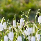 Snow Drops by stay-focussed