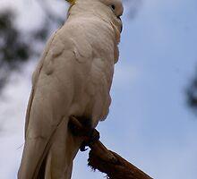 Proud Cockatoo posing.. Sulphur Crested Cockatoo by Reneefroggy