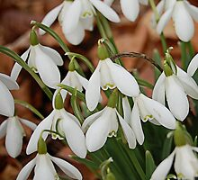 Happy Mother's Day Snowdrops by Gillian Cross