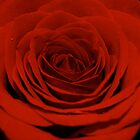 Red Rose by Lou Wilson