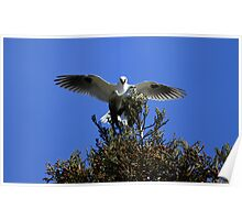 White Tailed Kites Mating Tree Top Style Poster