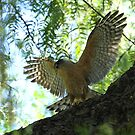 Cooper's Hawk Defends His Spot  by DARRIN ALDRIDGE