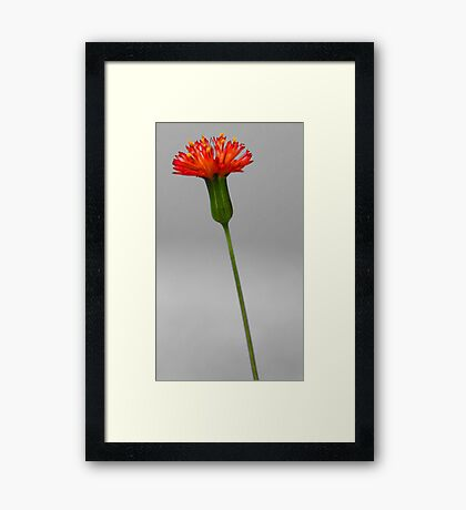 Florida Tasselflower Framed Print