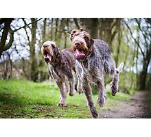 Italian Spinone Dogs Luca & Nico Photographic Print