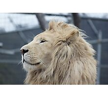 White Lion Photographic Print