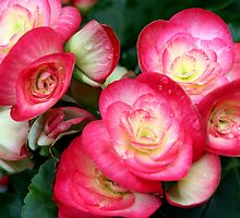 Begonia Beauties by Laurel Talabere