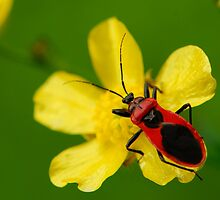 red bug by davvi