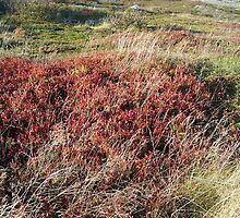 Newfoundland Wild Blueberries by phaedra1973