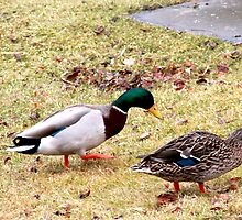 Waddling Ducks by Annie Underwood