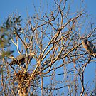 Mated Pair of Great Blue Herons by afroditi katsikis