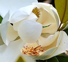 Giant Magnolia type flower...... by lynn carter